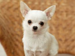 Chihuahua : The Dogs Breeds 1212