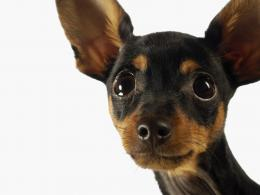 Chihuahua, dog, ears, eyes wallpapersphotos, pictures 375