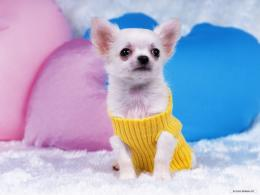 Gorgeous ChihuahuaChihuahuas Wallpaper16750797Fanpop 620