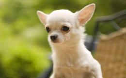 Chihuahua Dog Wallpapers 924