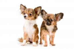 Chihuahua Dogs 12 High Resolution WallpaperDogBreedsWallpapers com 1807