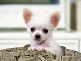 Gorgeous ChihuahuaChihuahuas Wallpaper16750800Fanpop 205