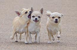 Wallpaper chihuahua, three, friends, comrades, dog walk wallpapers dog 1110