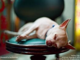 Chihuahuas Sleeping : 1656