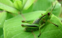 Cricket Insect in Animals category 598