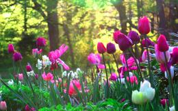 Tulips Flower Garden 1 Wallpaper 403