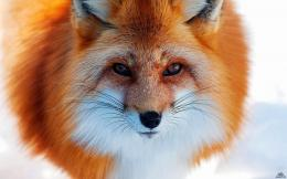hd wallpapers fox beautiful wallpaper animal 1920x1200 wallpaper jpg 1586