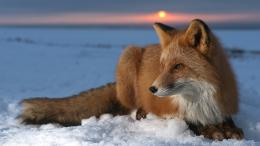 Fox animals sun snow winter HD Wallpaper 263