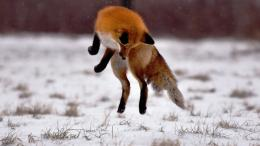 Fox Animal HD Wallpapers 710