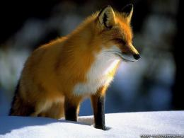 Title : Desktop fox animal wallpaper hd 985