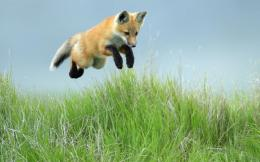 hd animal wallpapers a jumping fox in the high grass hd foxe animal 1867
