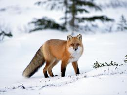 top desktop fox wallpapers hd fox wallpaper 1 red fox in the snow jpg 465