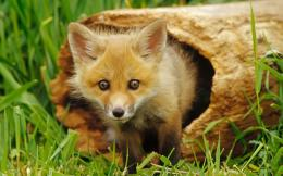 File Name : Download Animal Photos Hd Wallpaper Fox 425