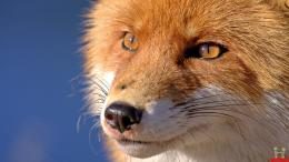 Clever Fox HD Wallpaper 1777