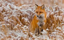 Fox Animal HD Wallpapers 148