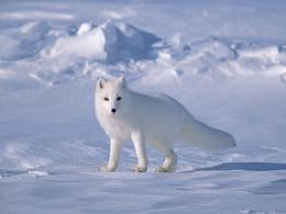 Arctic Fox in Snow Wallpaper 212
