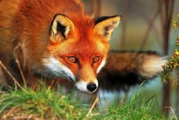 fox animal high resolution wallpapers download lovely fox animal hd 427
