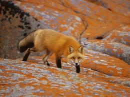 red fox wallpapers beautiful high resolution wallpapers of fox animal 1590