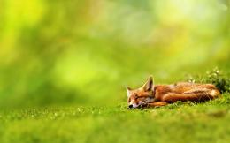 Fox Animal HD Wallpapers 677