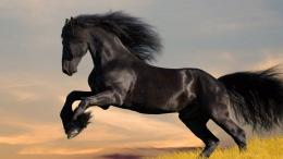 Friesian Horse Wallpaper 02 174