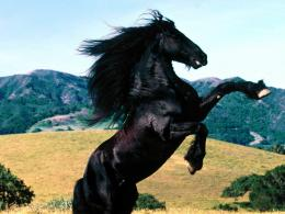 wallpaper friesian horse diablo desktopia animals desktop backgrounds 795