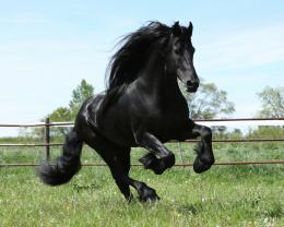friesian black running horse wallpaper friesian black running horse 763