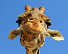 funny giraffe computer background high quality free animal wallpaper 1185