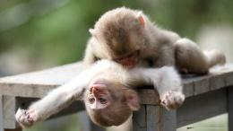 Funny Monkey Wallpaper | Funny Monkey Pictures | Cool Wallpapers 703