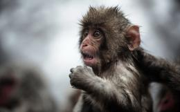 Funny Full HD Monkey Wallpapers 1842