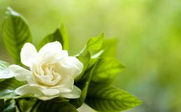 Gardenia Flower Wallpapers | Pictures of Gardenia Flowers | Cool 326