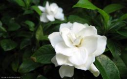 gardenia flower hd widescreen wallpaper 1477