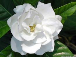 wallpapers flowers gardens backgrounds single gardenia single gardenia 384