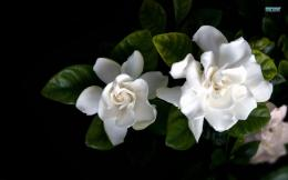 Gardenia wallpaperFlower wallpapers#5516 1481