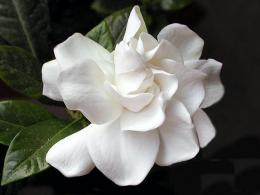 flower, frangrant, gardenia, photo, photography, white, white flower 1498