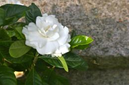 Gardenia Flower Wallpapers | Pictures of Gardenia Flowers | Cool 1577