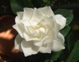 Description White Gardenia flower jpg 763