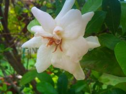 Gardenia Nature Flower Rain Beauty hd wallpaper #1109338 1504