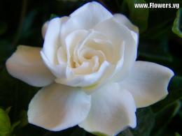 Tweet white gardenia yellow gardenia flower pictures backgrounds 885