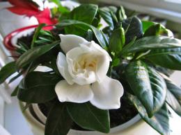 Gardenia flower wallpaperMy Best WallpaperFree wallpapers 1342
