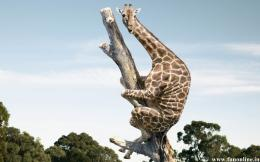 Funny Giraffe climb over the tree 102