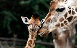 Cute wallpaper of giraffes | HD animals wallpapers 703