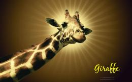 Giraffe hd wallpapers 1398