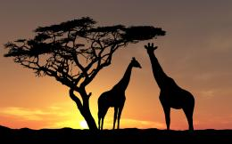 africa wallpaper wildlife giraffes sunset hd desktop wallpapers 1379