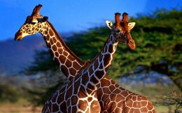 giraffe hd images free download new hd widesceen wallpapers of giraffe 339