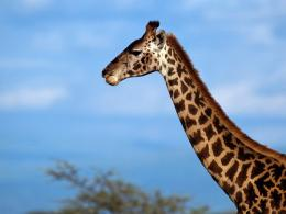 Giraffe Wallpaper 629