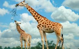 HD animal wallpaper with a picture of eating giraffes | HD giraffes 410