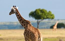 hd giraffes wallpaper with a big giraffe wallpapers backgrounds jpg 271