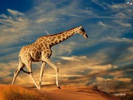 WallpapersAnimalsGiraffes 273