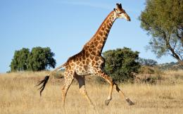 Giraffe High Definition Wallpapers 1318