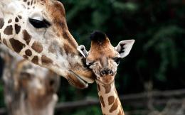 Giraffe Baby Widescreen HD Wallpaper 1527